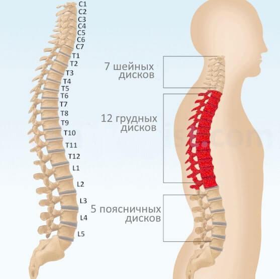 схема грудного отдела позвоночника