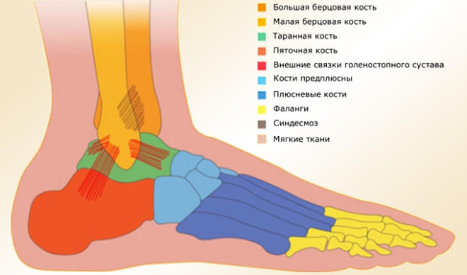 stroenie-lodyzhki-golenostopa (6)