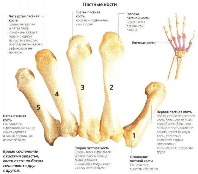 stroenie-pyastnoj-kosti (1)