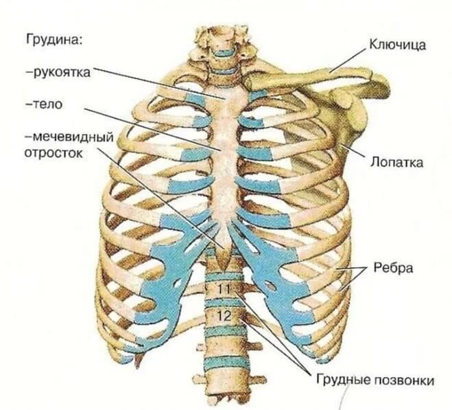 grudnaya-kletka (stroenie)