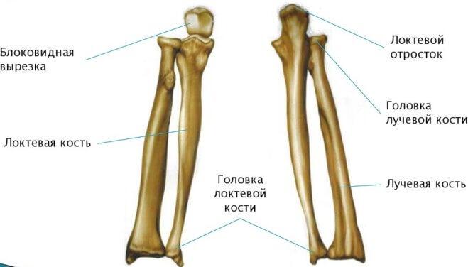 perelom-predplechya (anatomiay)