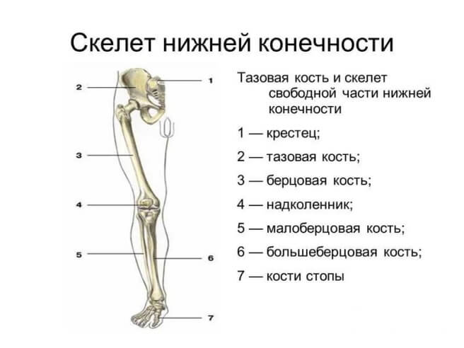 stroenie-kosti-nogi (2)