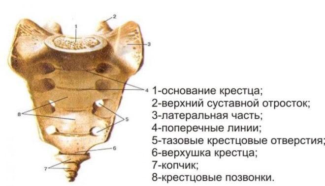 perelom-kresttsa (stroenie)