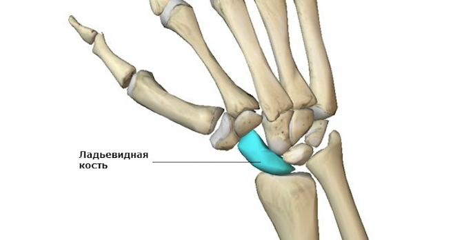 Анатомические особенности кости