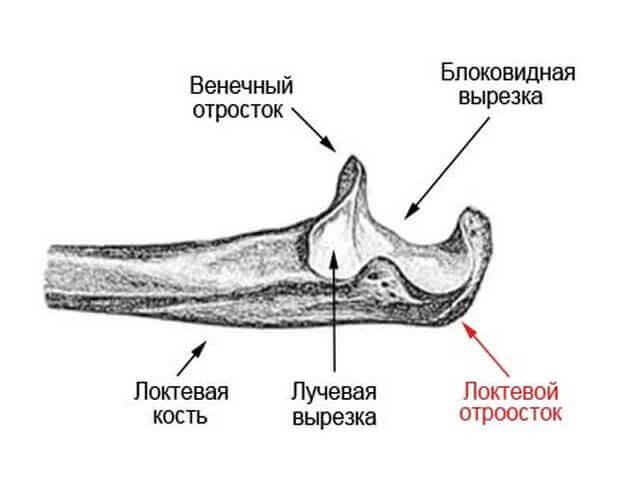 венечный отросток локтевой кости
